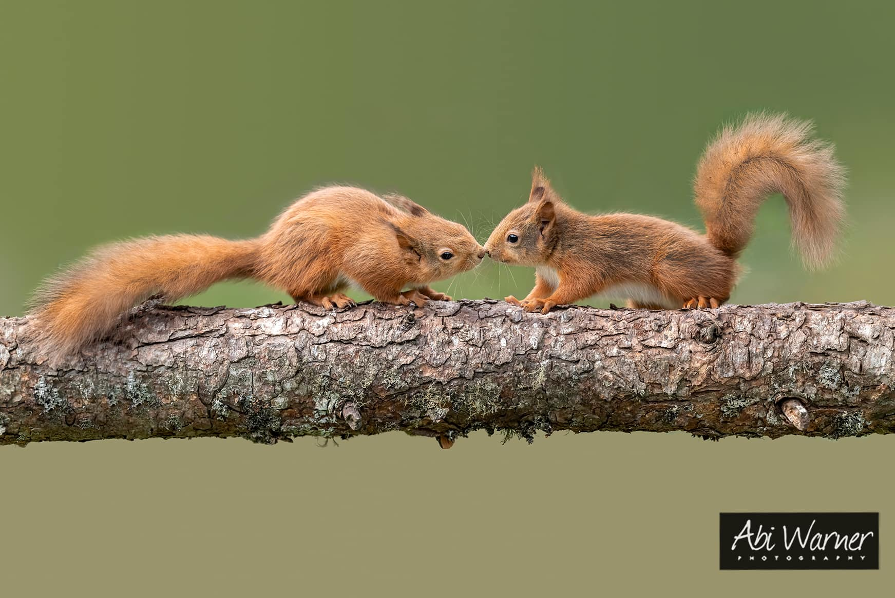 Kissing Red Squirrel's