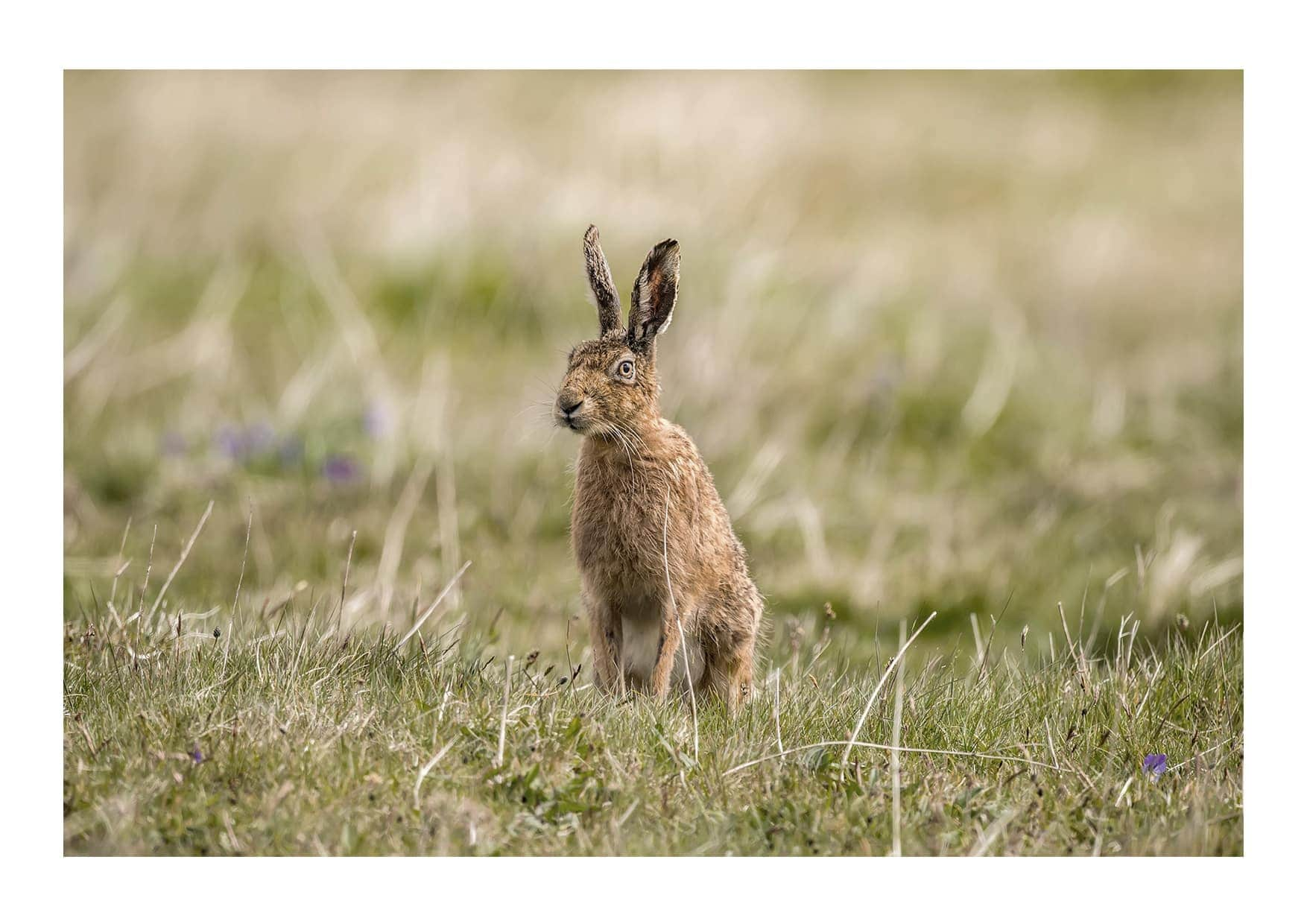 Brown Hare 2