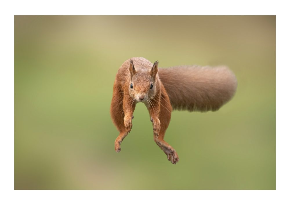 Red Squirrel Jumping 1