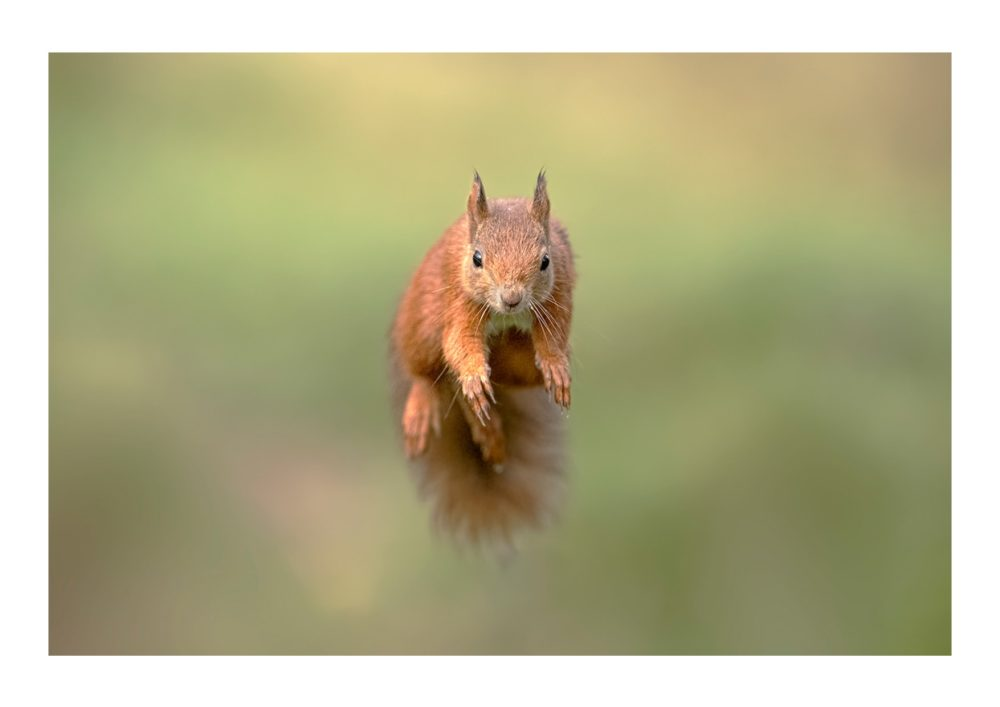 Red Squirrel Jumping 2