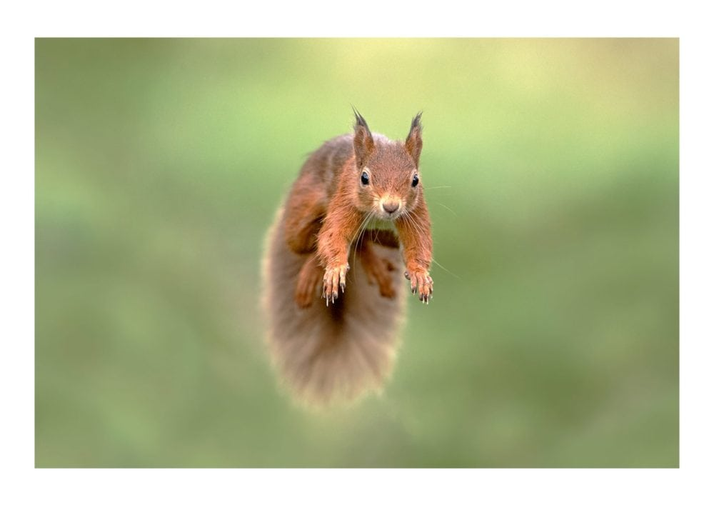 Red Squirrel Jumping 3