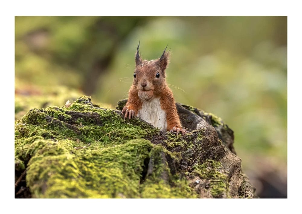 Red Squirrel 3