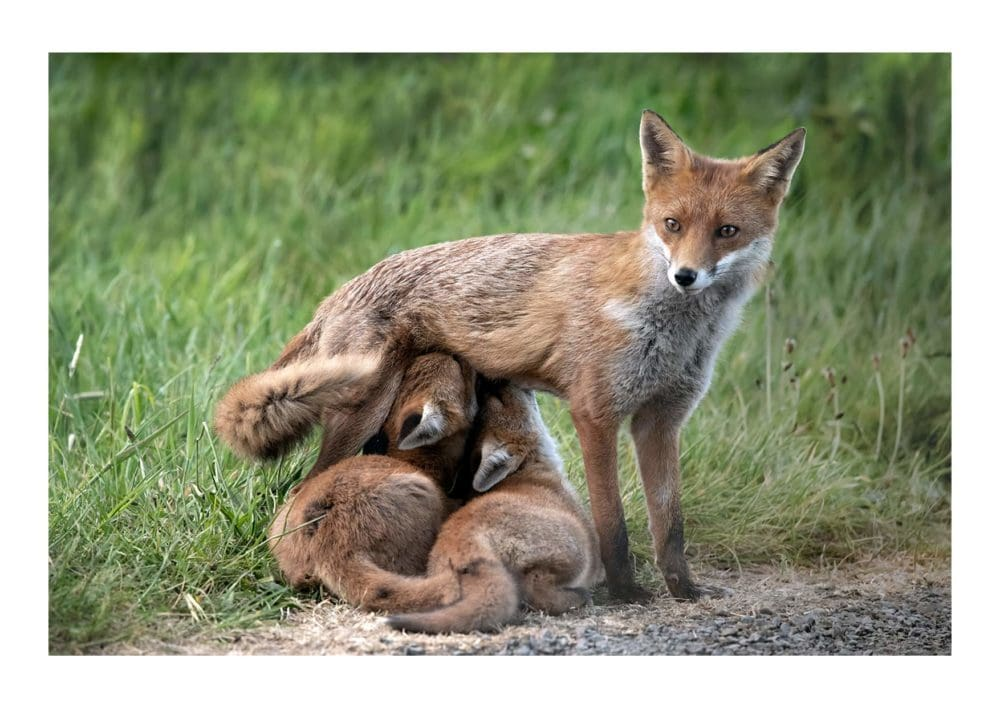 Fox Cubs feeding